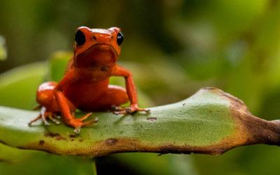 Oophaga-Pumilio-Red-Morph-Panama-1