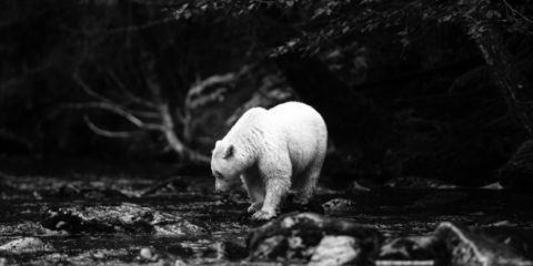 Spirit Bear (Kermode Bear), Great Bear Rainforest, British Columbia, Canada.